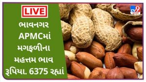 The maximum price of groundnut in Bhavnagar APMC is Rs. 6375 remained