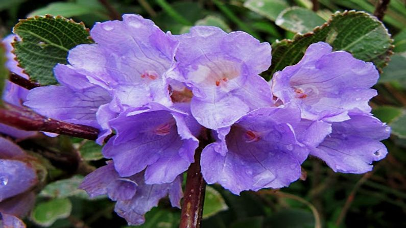 %%title%% The world's rarest flower will bloom. Tourists in India have been waiting for 12 years to see this flower