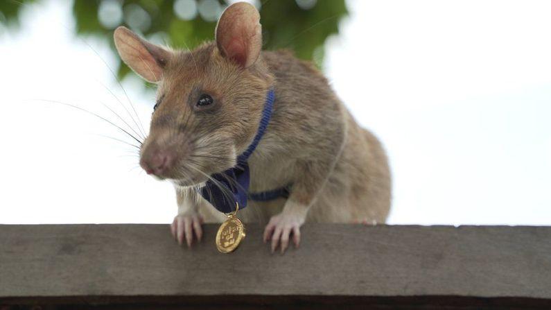 Magawa the hero rat retires from job detecting landmines