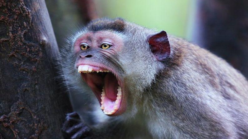 """કહે છે કે આ ઘટનાના બીજા દિવસે લાલકિલ્લા પર સંખ્યાબંધ વાંદરાઓ એકસામટા તૂટી પડ્યા. વાંદરાઓએ બધું જ ખેદાન-મેદાન કરી દીધું. બાદશાહ ચિંતામાં પડી ગયા કે આ શું થઈ રહ્યું છે. ત્યારે બિરબલ બોલ્યા કે, """"હજૂર, આપને ચમત્કાર જોવો હતો ને, જોઈ લો હવે !"""""""